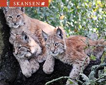 SkansenSkansen on Tukholman ainoa eläinpuisto. Täällä näet villieläimiä Pohjolasta, maatilojen eläimiä ja myös eksoottisia pikkueläimiä.
